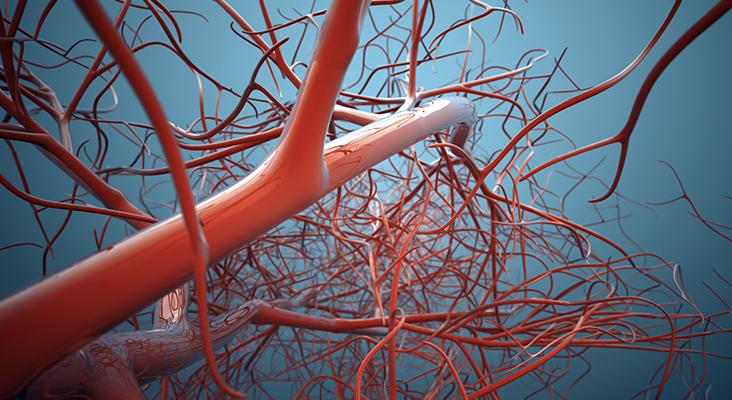vascular system graphic