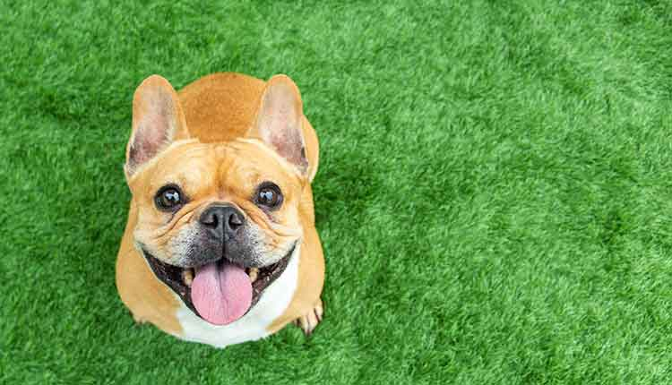 Set of young puppy french bulldog playing and activity around the house both indoor and outdoor